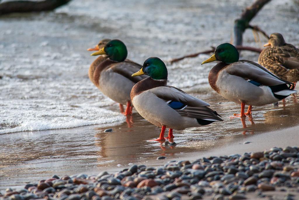 Mallard Ducks | Morning Surf