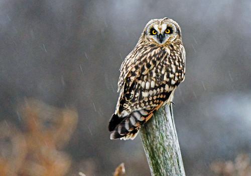 Short-eared Owl - Avon - © John Romero - Jan 10, 2021