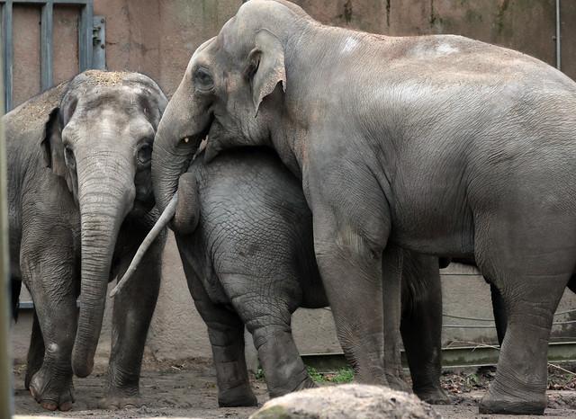 asiatic elephant Fahim Blijdorp 9K2A3814