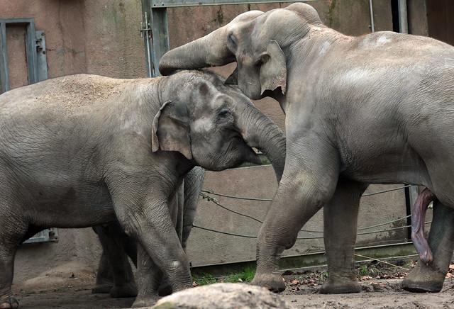 asiatic elephant Fahim Blijdorp 9K2A3823