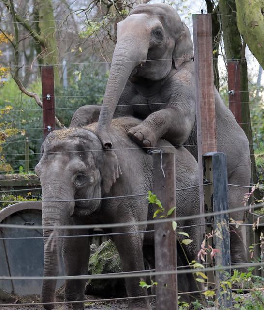 asiatic elephant Fahim Blijdorp 9K2A3886