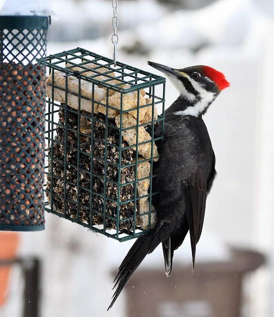 Grand Pic femelle  /Pileated Woodpecker female