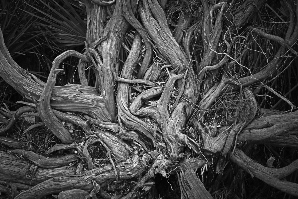 2021.01.09 Shired Island Trail Roots 1 BW