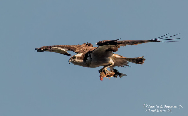 Osprey bringing home the bacon err fish DI3A7070