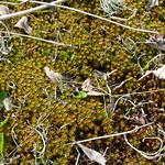 Glashaar-Haarmützenmoos (Polytrichum piliferum)