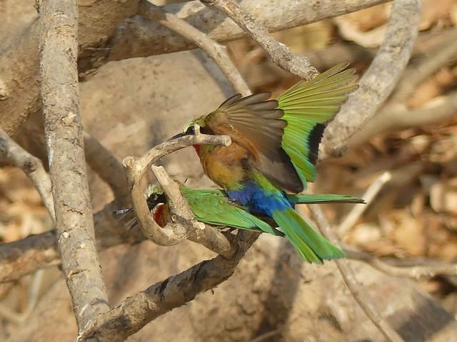 Make love - not war! White Fronted Bee Eater, Rufiji River, Selous, Tanzania