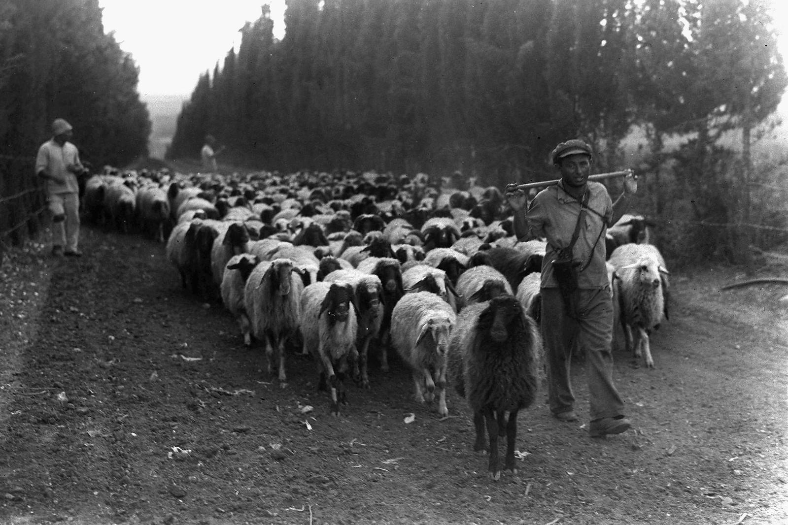 17. 1938. Еврейские пастухи выводят свое стадо на пастбище 30 сентября в кибуце Рамат Давид