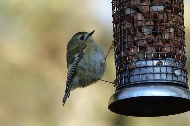 Goldcrest Scotland's smallest bird