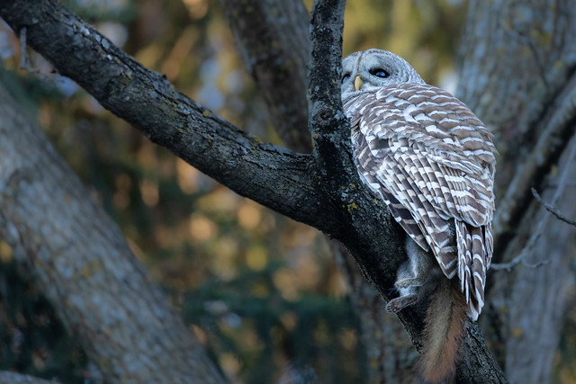 Barred Owl with red squirrel
