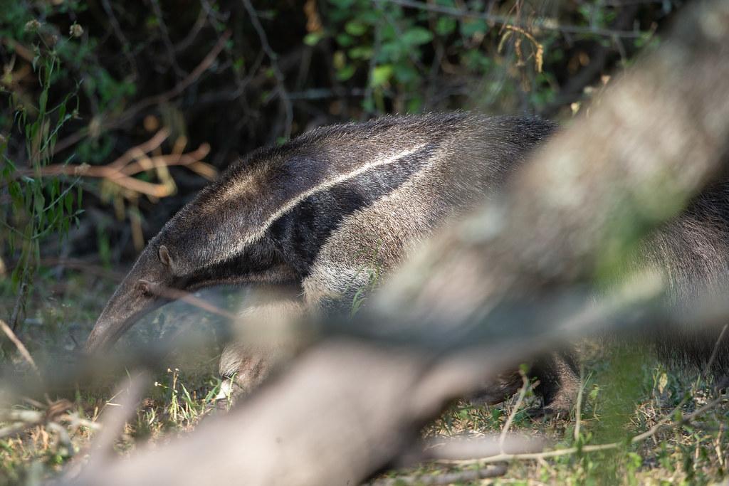 Giant Anteater - Myrmecophaga tridactyla