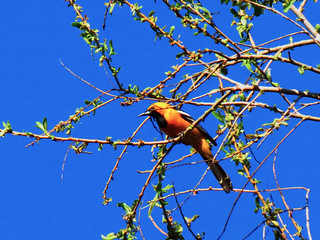 Hooded Oriole /Southern California Inland
