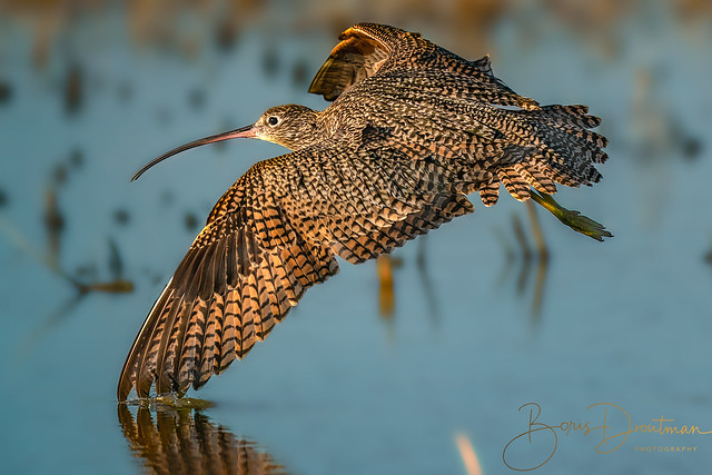 The wing brush... (long-billed curlew)