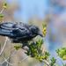 Australian Ravens at Shallow Inlet Vic..