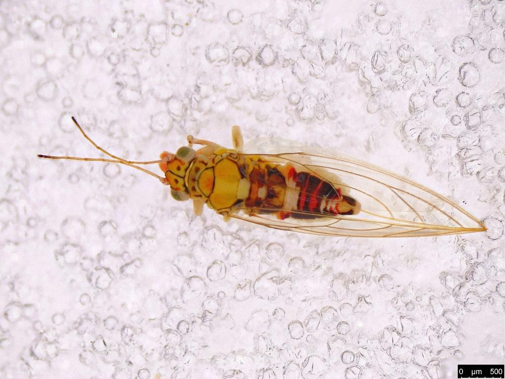 3a - Glycaspis sp.