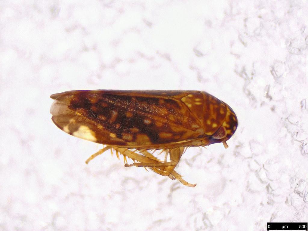 4a - Cicadellidae sp.