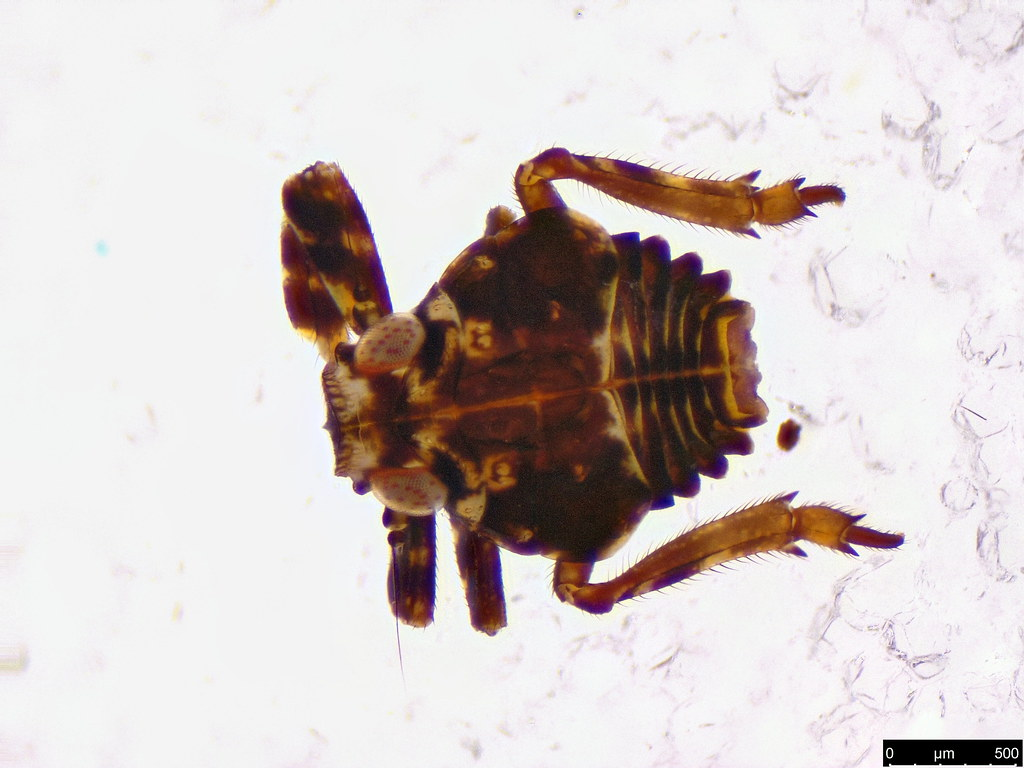 5 - Fulgoroidea sp.