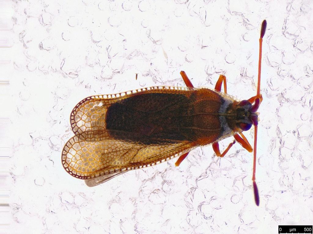 7a - Ulonemia sp.