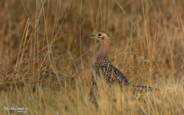 Ring-necked Pheasant - Female