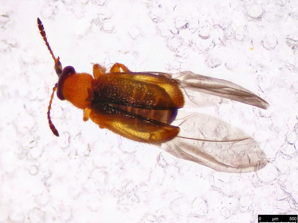 14b - Metopum sp.