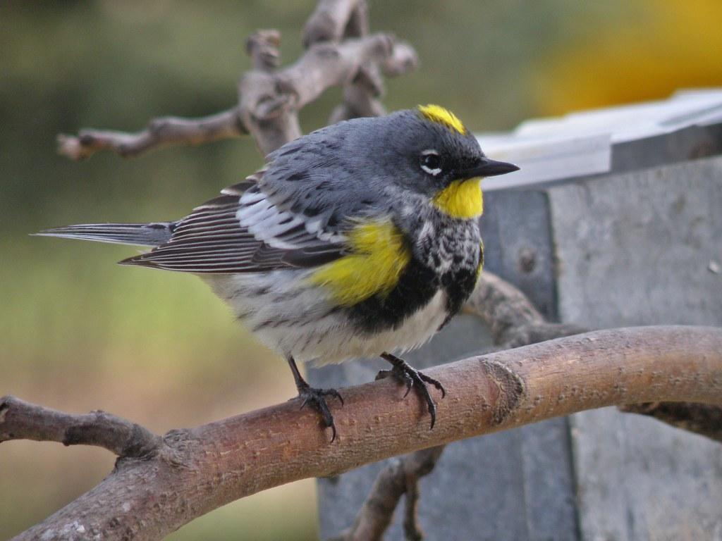 P4177146...WARBLER, Audubon's Yellow-rumped