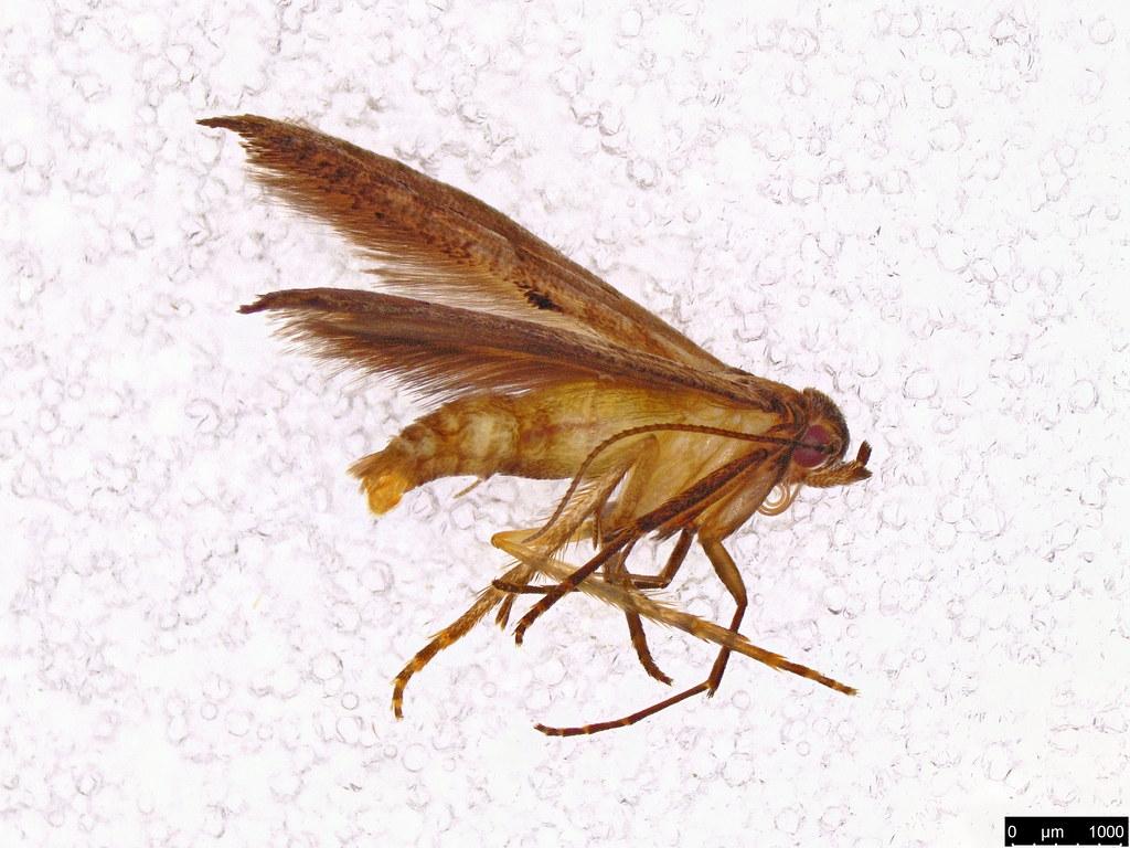 23 - Epermenia exilis Meyrick, 1897