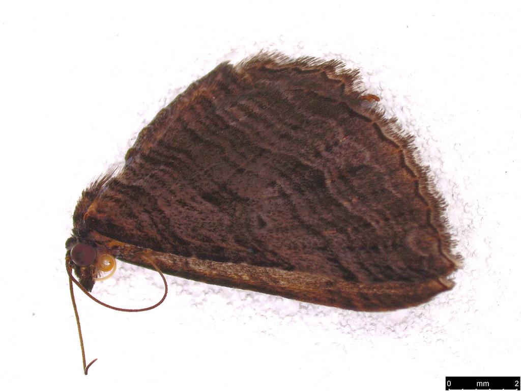 28 - Chrysolarentia severata (Guenée, 1857)