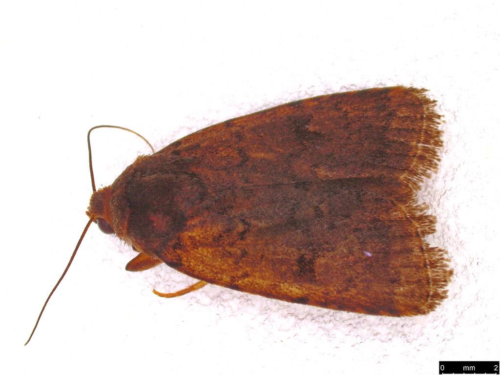 29 - Proteuxoa sp.