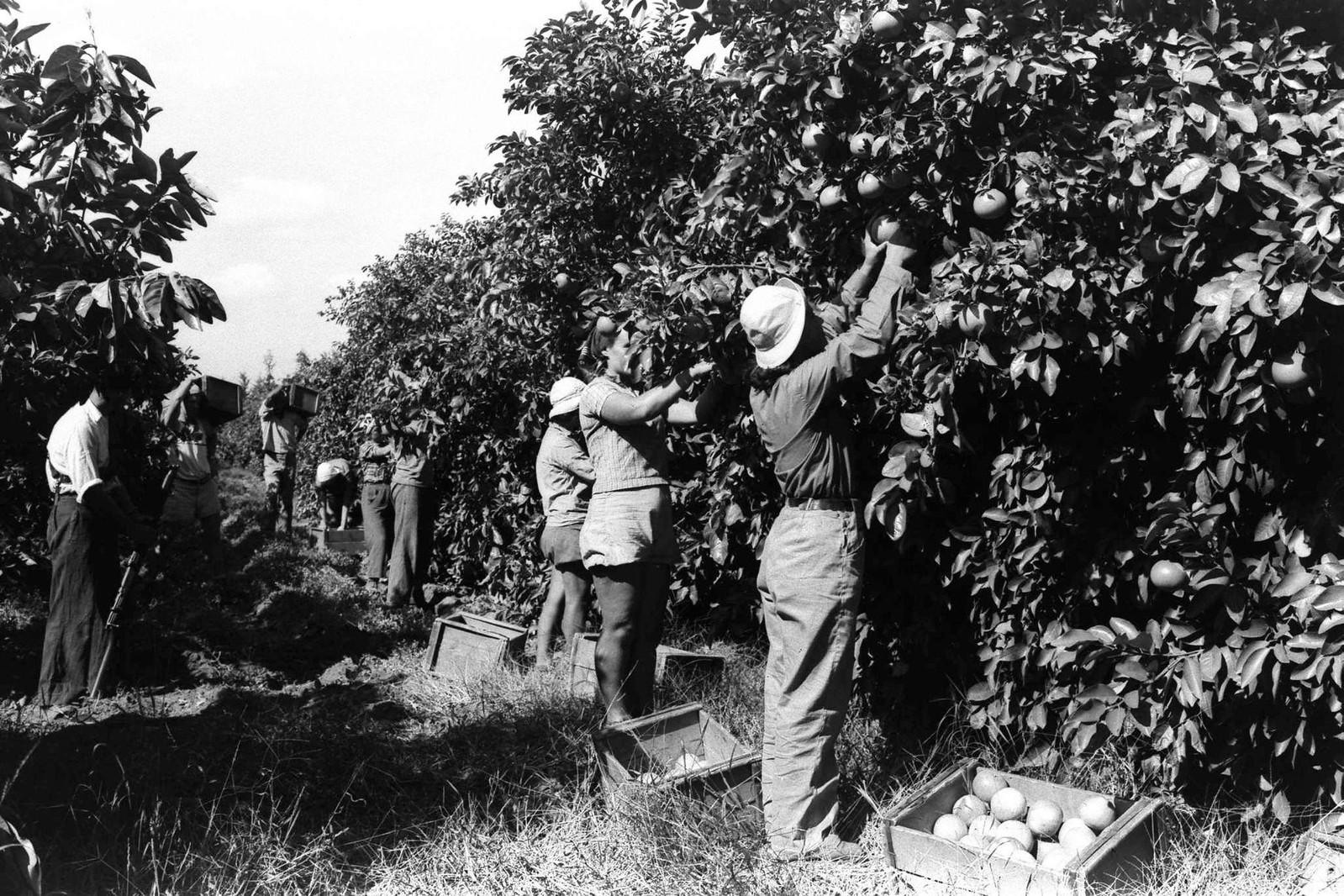 18. 1938. Рабочие в апельсиновой роще кибуца Наан