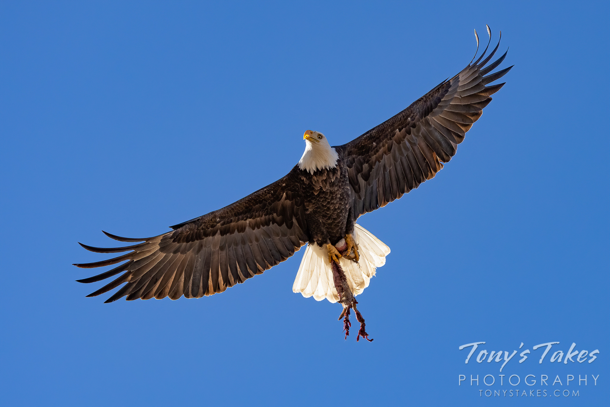Bald eagle gets its lunch to go