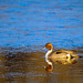 Finley Pintail Sunrise 20210123