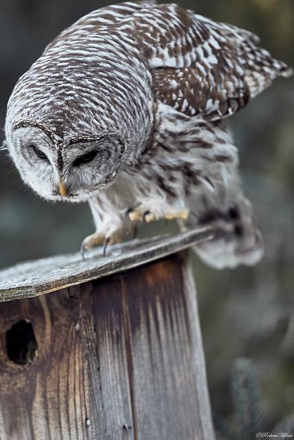 Barred Owl66785