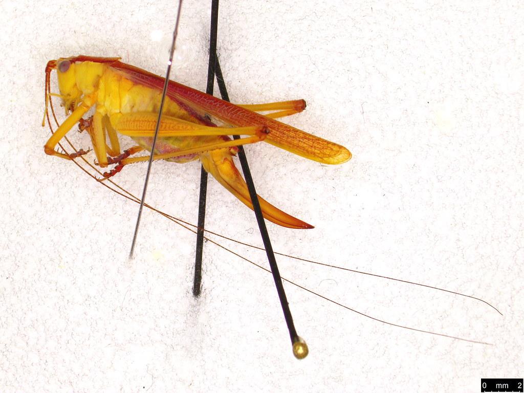20a -Tettigoniidae sp.
