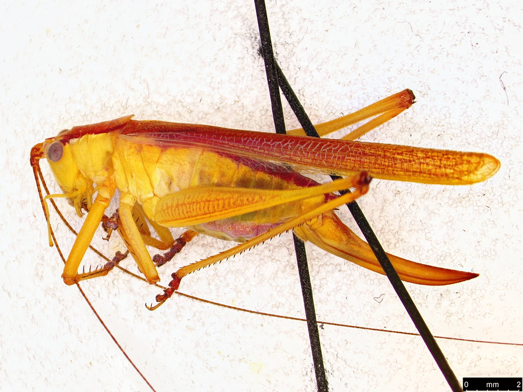 20c -Tettigoniidae sp.