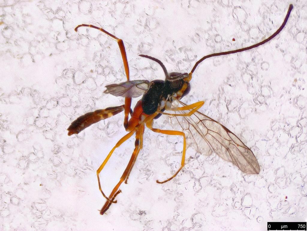 40a - Braconidae sp.