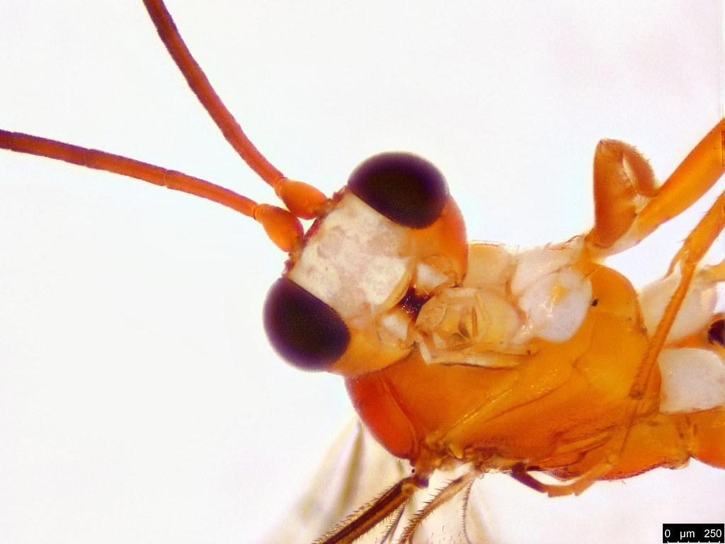 43b - Braconidae sp.