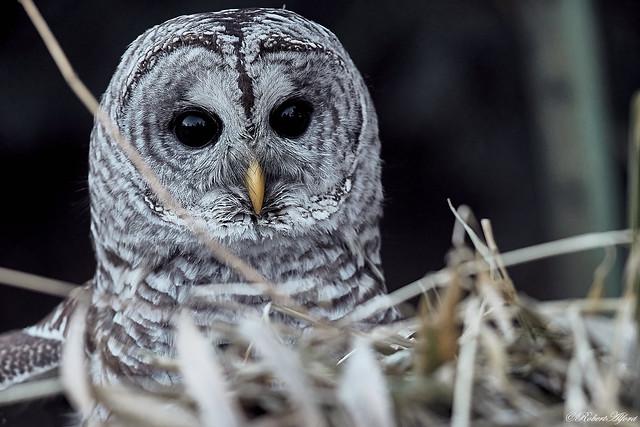 Barred Owl66791