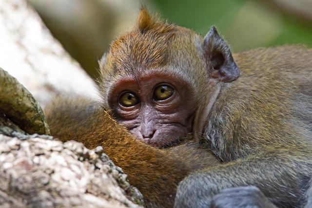 Long-tailed macaque - Penang National Park - Teluk Bahang, Penang Island, Malaysia