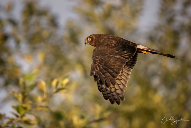 In Flight - Northern Harrier