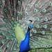 "<p><a href=""https://www.flickr.com/people/im2fast4u2c/"">im2fast4u2c</a> posted a photo:</p>  <p><a href=""https://www.flickr.com/photos/im2fast4u2c/50868826582/"" title=""Peafowl""><img src=""https://live.staticflickr.com/65535/50868826582_7b90c4046c_m.jpg"" width=""240"" height=""160"" alt=""Peafowl"" /></a></p>"