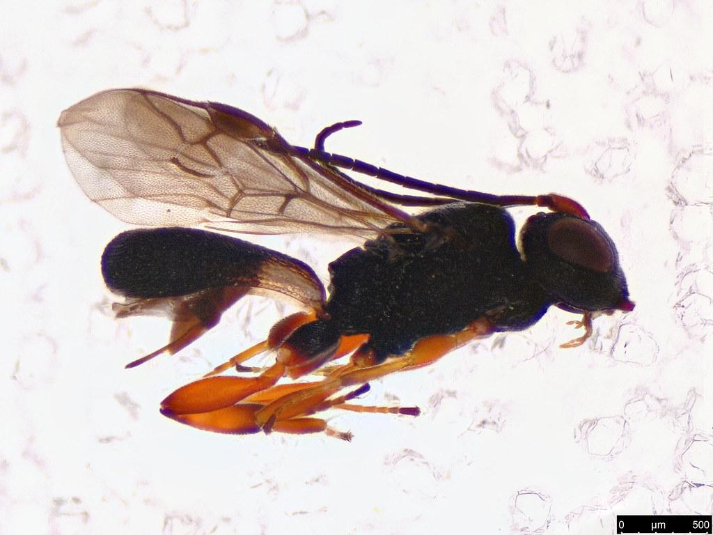 48a - Chelonus sp.