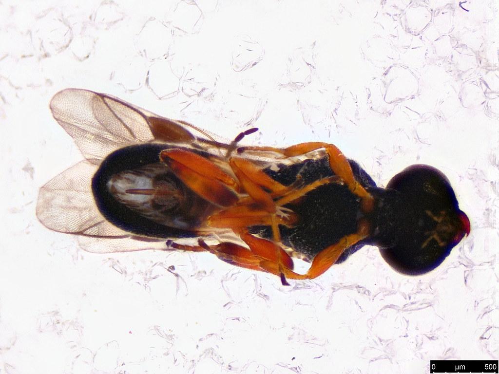 48b - Chelonus sp.