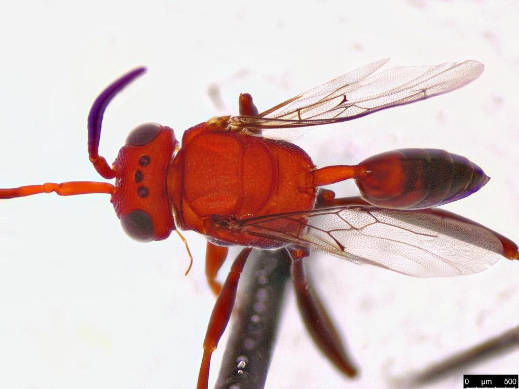 50b - Evaniidae sp.