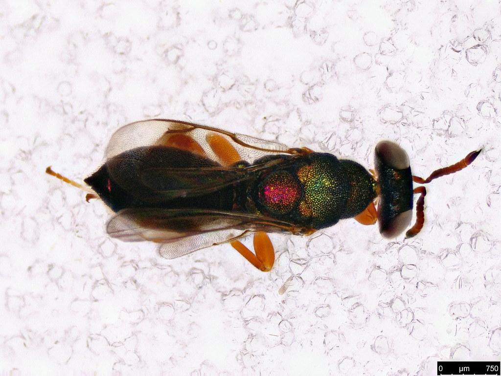 51b - Eulophidae sp.