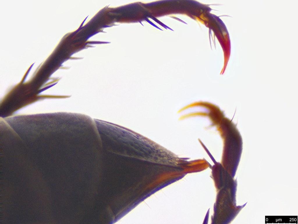 57c - Crabronidae sp.