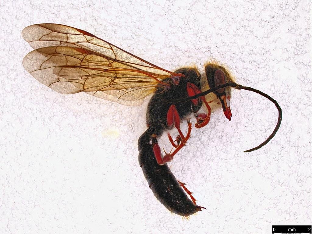 58 - Thynninae sp.