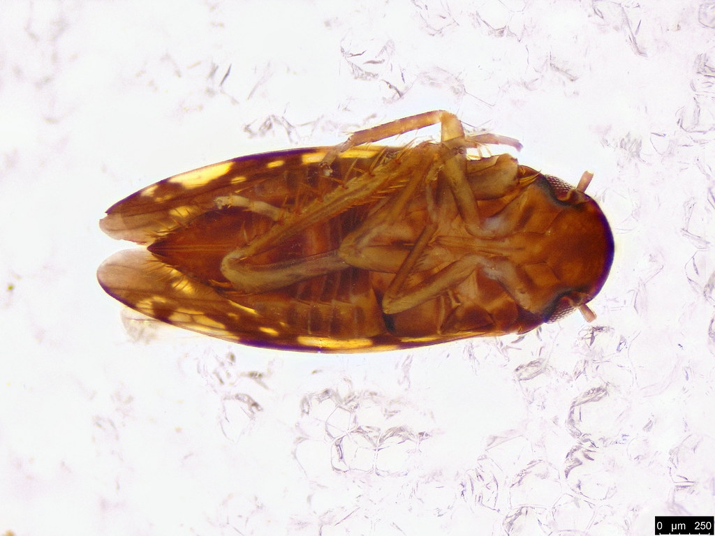 4b - Cicadellidae sp.