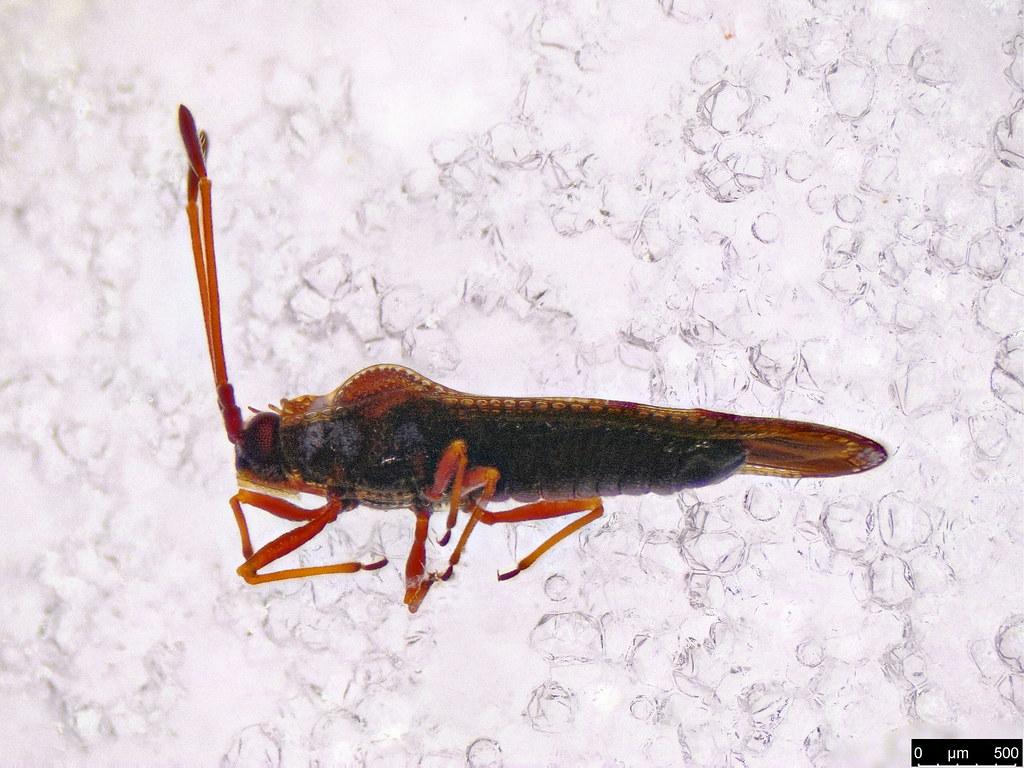 6a - Ulonemia sp.