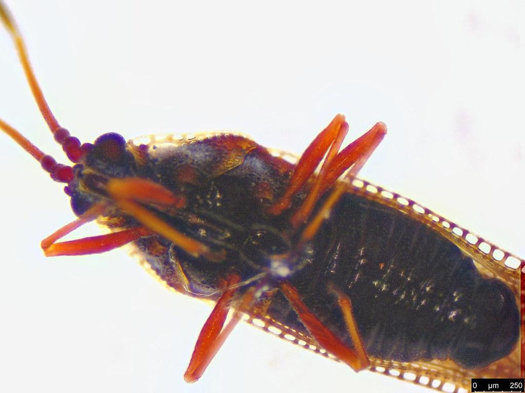 6c - Ulonemia sp.