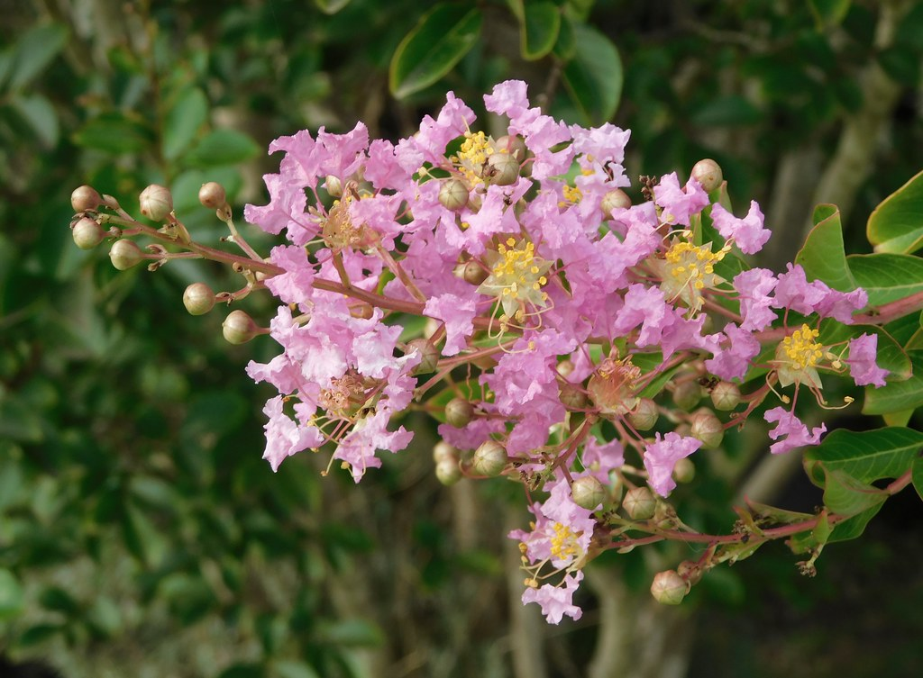Tree in Flower - Crepe Myrtle
