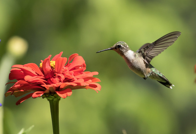 015A4792 Ruby-throated Hummingbird